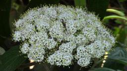 Viburnum rhytidophyllum flower in the garden - macro Footage