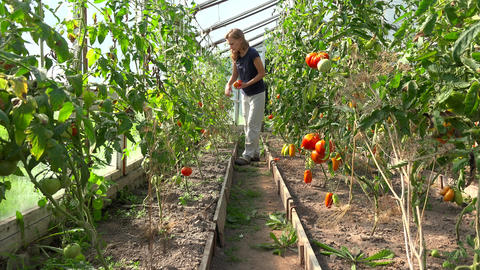 farmer woman picking organic tomatoes in greenhouse Footage