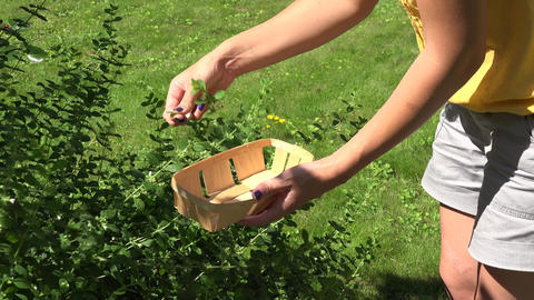 female hand gather fresh herb mint leaf on basket in garden Live Action