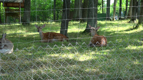 Roe animals lie on grass in zoo fenced territory. Zoom out Footage