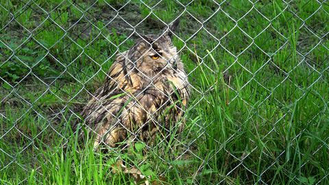 horned eagle owl bubo bubo bird behind the fence in zoo zoological garden Footage