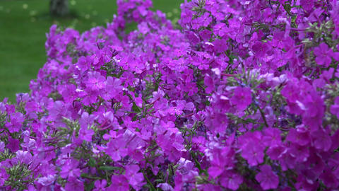 phlox flowers and heavy rain water drops fall on plant blooms in summer. 4K Footage