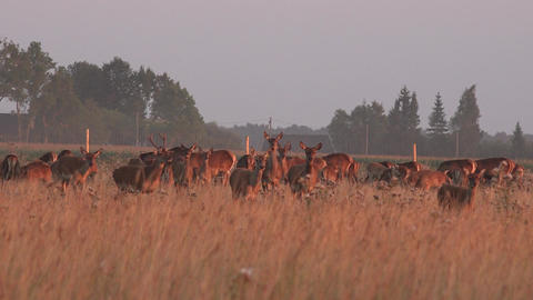 Herd of bucks deers walking in captivity on pasture Footage