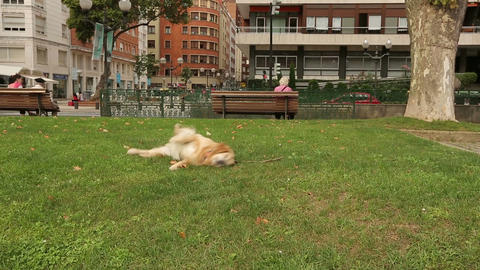 Funny retriever puppy rolling over on grass exposing its body to warm sunbeams Footage