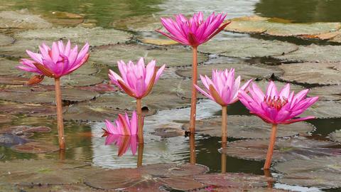 Red Lotus Pond Sunrise Ripples Reflection 4k Footage