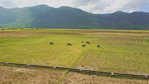 Drone Flies above Water Canal and Buffaloes on Field Footage
