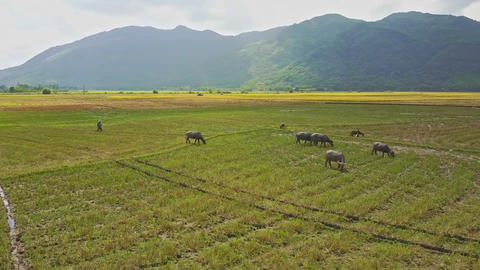 Aerial View Buffaloes Graze on Rice Field under Cloud Shadow Footage
