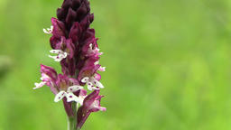 Wild beautiful orchid Orchis ustulata, detail, endangered species, the UNESCO ビデオ