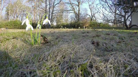 first spring flowers snowflake (leucojum vernum) park. 4K Footage