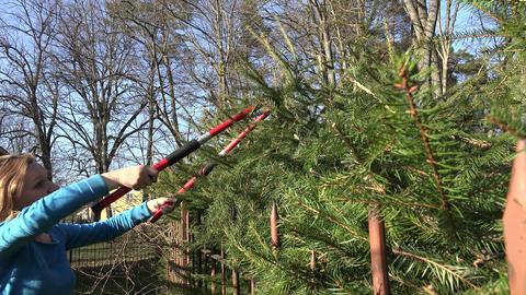 woman pruning overgrown fir branch in garden. Seasonal work. 4K Footage