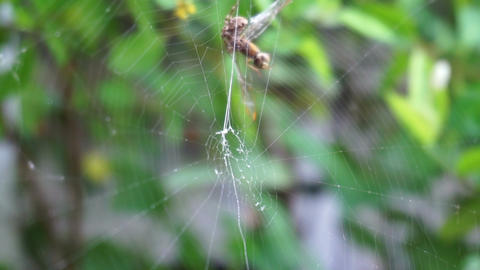 Spider web on green leafs in the daytime. (panning camera) ビデオ