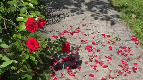 Closeup of red rose flower blooms and fallen petals on the ground stone path in  Footage