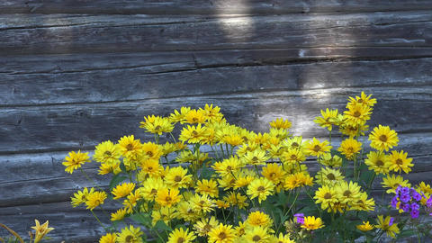 Yellow daisy flower blooms move in wind on wooden house wall background. 4K Footage