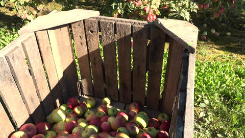 Ripe apples in crates and on fruit trees in autumnal orchard. Handheld Footage