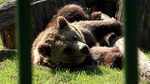 Poor animal brown bear Ursus arctos sleeping in captivity zoo Footage