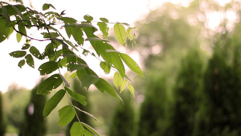 Branch of broadleaf tree in spring with defocused green emerald arborvitae trees Footage