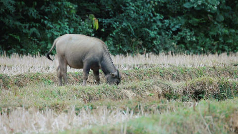 Asian buffalo grazing ビデオ