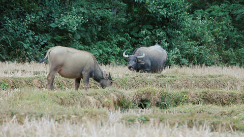 Asian buffalo grazing lizenzfreie Videos