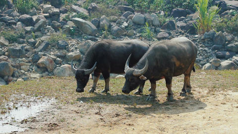 Asian buffaloes grazing ビデオ