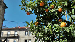 Spain Galicia City of Vigo 033 single orange tree in the middle of the town Footage