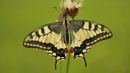 Swallowtail butterfly Papilio machaon in the Czech Republic Footage