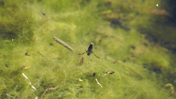 Backswimmer in swampy water Footage