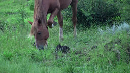 Brown horse grazing Footage