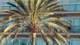 Spain Mallorca Island Palma Can Pastilla 005 palm tree leaves in morning light Footage