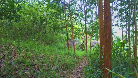 Flycam Moves Through Young Forest with High Thin Trees Footage
