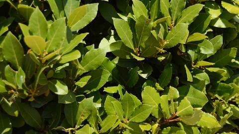 Laurel Leaves In The Wild Footage