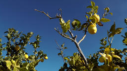 Spain Mallorca Island various 002 lemon tree with ripe fruits Footage