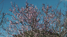 Spain Mallorca Island various 006 blooming almond trees Footage
