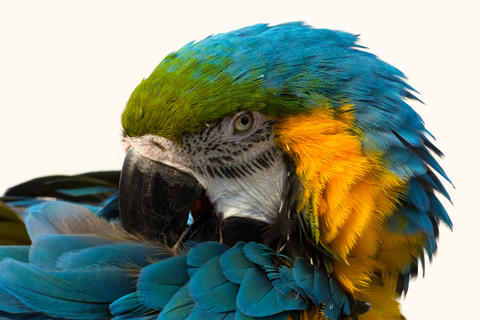 Blue-and-yellow macaw, parrot Ara ararauna フォト