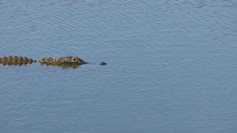 Alligator swims across frame with back exposed, 4K Footage