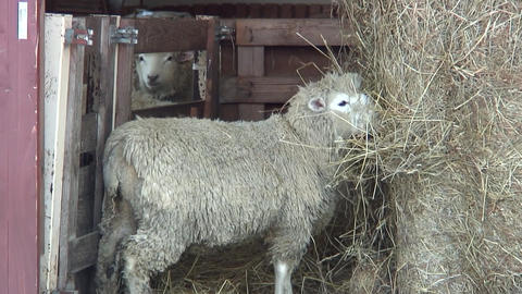 Sheep Eat Grass in Shed - Shizukuishi (Iwate, Japan) - Handy 画像