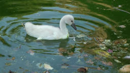 Spain Palma de Mallorca 108 cute swan chick searches food in dirty water Footage