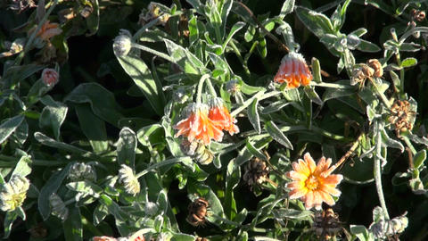 Calendula covered with frost Footage