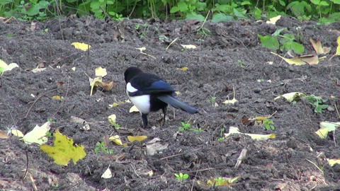 European Magpie (Pica pica) in autumn garden Footage