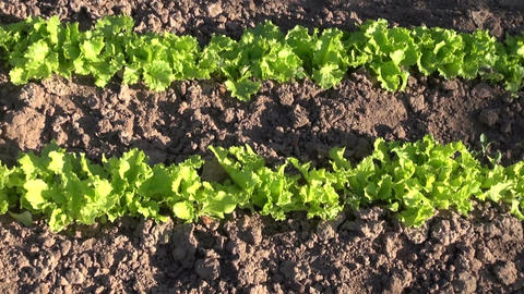 Green lettuce growing in the vegetable garden Footage