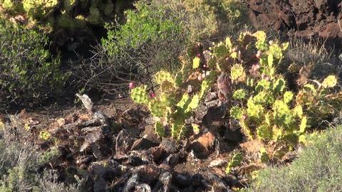 Prickly pears with fruit between lava rocks in Tenerife, Spain Footage