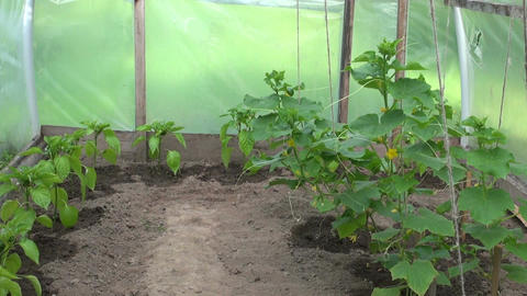 Paprika and cucumber plants growing in the greenhouse Footage