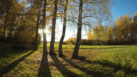 Beautiful autumn evening sunshine in birch grove. Time lapse 4K Footage