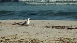 Spain Mallorca Island small town Sa Coma 003 seagull on sand and blue sea surf Footage