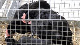 Spain Mallorca Island Sineu village 025 black chicken in cage on weekly market Footage