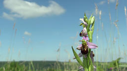 Wild Bee Orchid (Ophrys apifera), endangered species, the UNESCO Bile Karpaty Footage