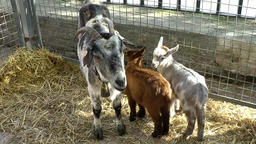 Spain Mallorca Island Sineu village 032 goat with two lambs on weekly market Footage