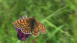 Wild Nickerl's fritillary (Melitaea aurelia), butterfly sucking nectar Footage