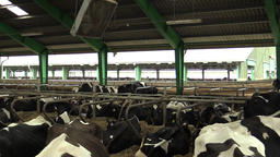 Dairy cows feeding in a barn, relax Footage