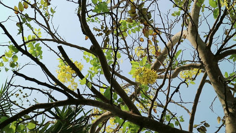 Golden shower tree moving in the wind Footage