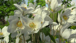 Beautiful Anemones in the park in Olomouc Footage